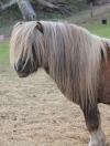Poniewood Shetland & Miniature Pony Stud
